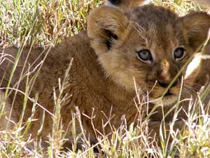 Safari in Tanzania: Lion Cub